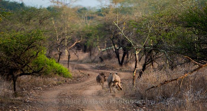 lion-hunting-warthog