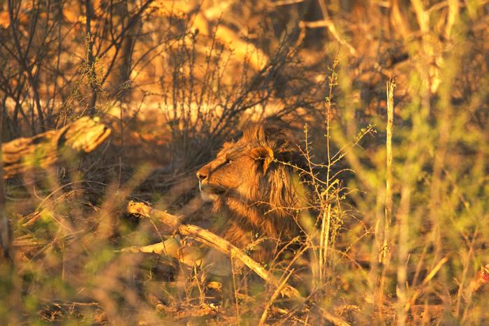 lion-jacis-lodge-terrapin-hide