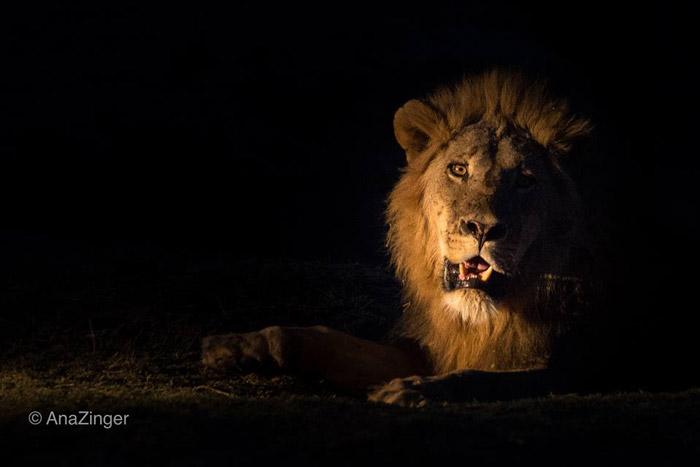 lion-luangwa
