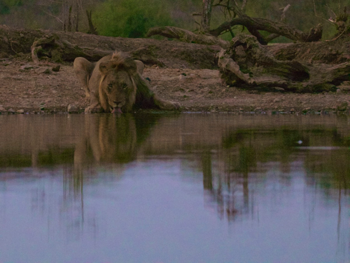 lion-quenches-thirst-at-waterhole