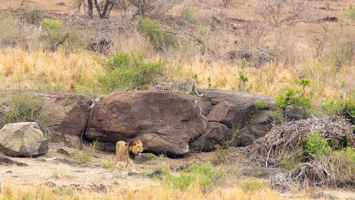 lion-retreats-and-leopard-safe