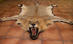 A lion skin as a trophy from a hunt in Namibia. Photograph: Ton Koene/Alamy Adam Vaughan