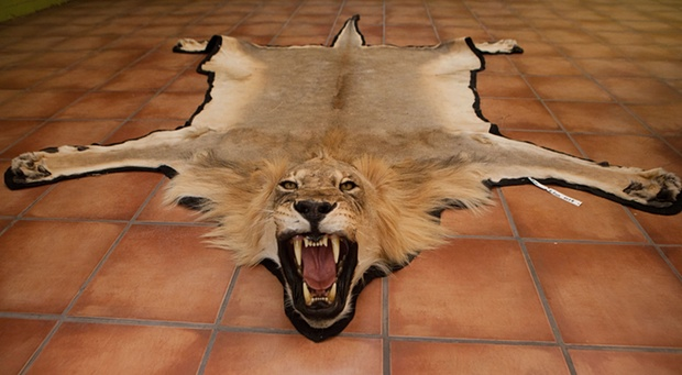 France Bans Import Of Lion Hunting Trophies Africa