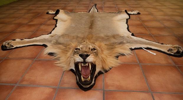 lion skin, trophy hunting