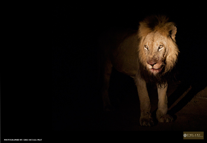 Even though the numbers scale tipped heavily in favour of the hyenas, they definitely think twice about taking on this big guy, male lions are known hyena killers.