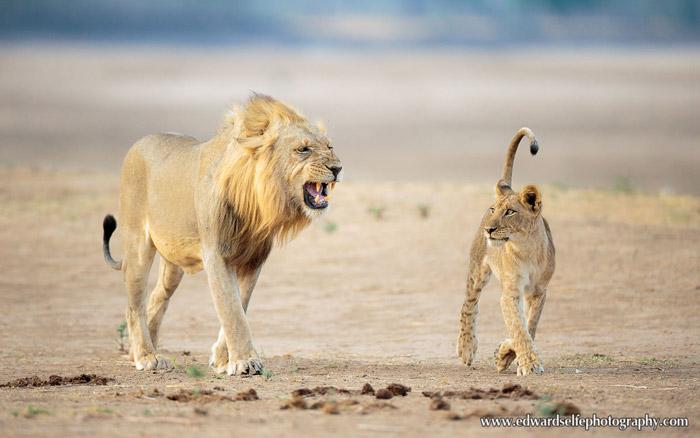 lions-Luangwa