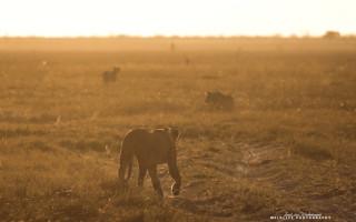 lions-stalk-warthog