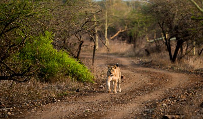 lions-zululand-rhino-reserve-kwazulu-natal