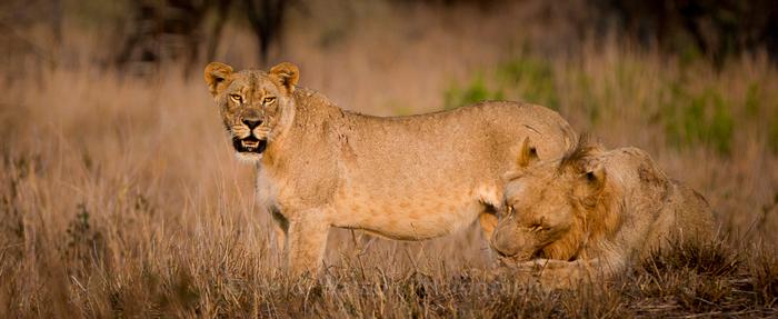 lions-zululand-rhino-reserve
