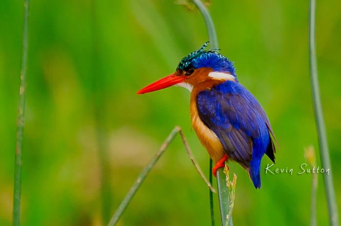 malachite-kingfisher-uganda