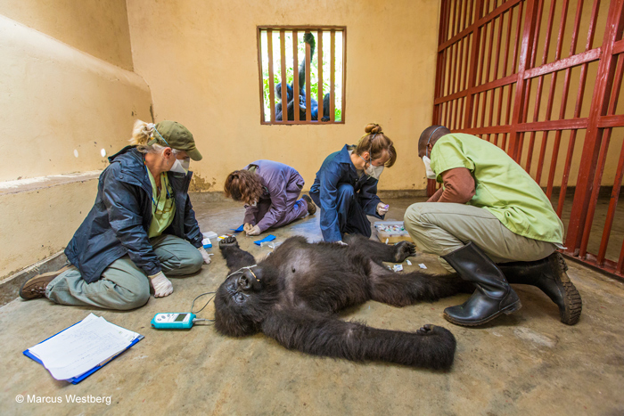 Gorilla care © Marcus Westberg/ Wildlife Photographer of the Year 2015