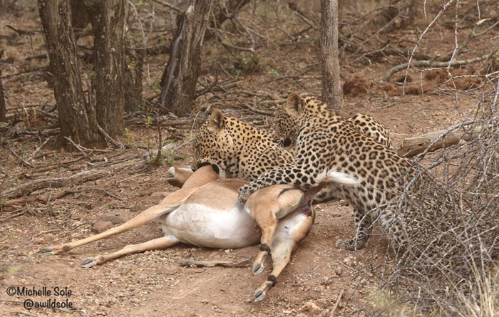 mother-leopard-killing-impala