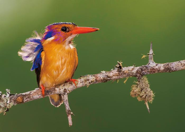 Pygmy kingfisher