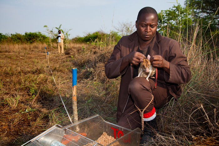rat-mine-detection-mozambique