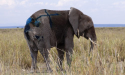 saving_the_wild_big_life_elephant_rescue