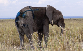 saving_the_wild_big_life_elephant_rescue