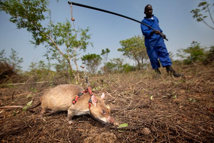 sniffer-rrats-mozambique