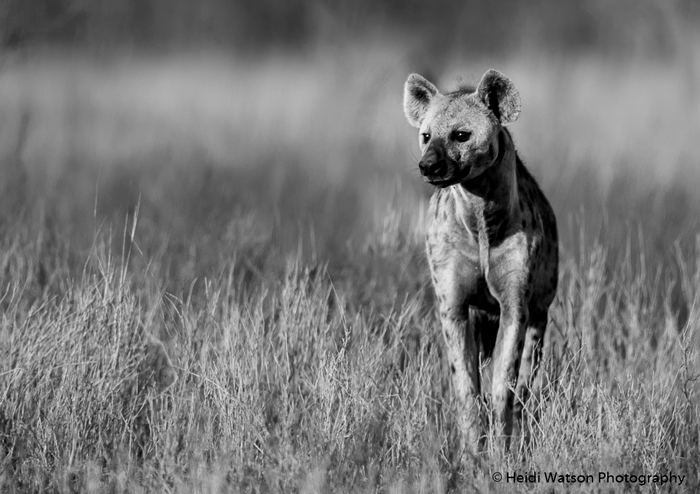 spotted-hyena-black-and-white
