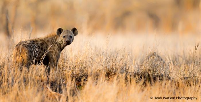 spotted-hyena-rhino-river-lodge-zululand-rhino-reserve