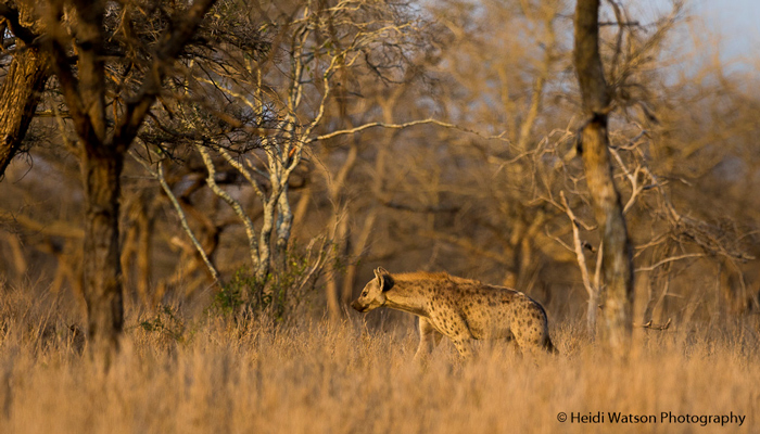 spotted-hyena-rhino-river-lodge