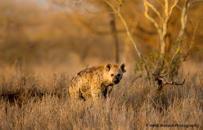 spotted-hyena-stares-into-camera