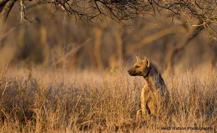 spotted-hyena-zululand-rhino-reserve