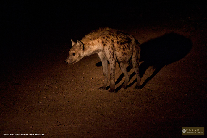 One of the hyenas slowly approaching the carcass before being chased off by the lion.