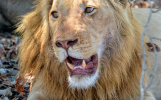 The strawberry blonde lion © Irwin Seigel