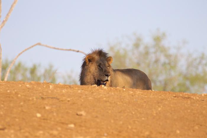 thirsty-lion-jacis-lodge-madikwe