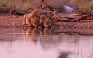 two-lions-drink-at-waterhole