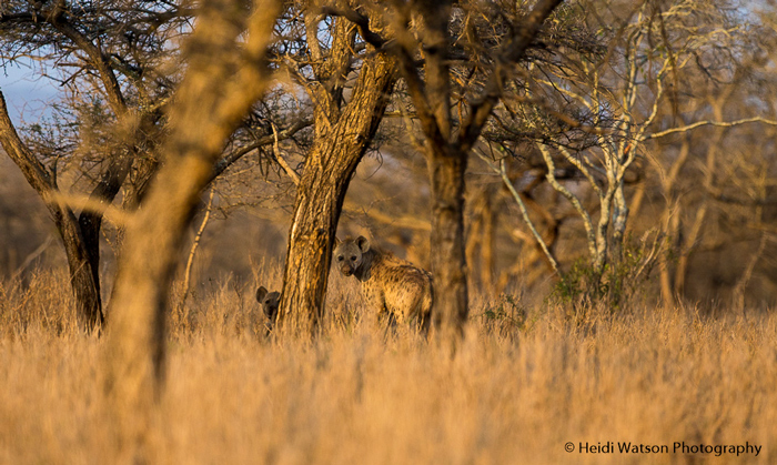 two-spotted-hyenas-hide-behind-tree