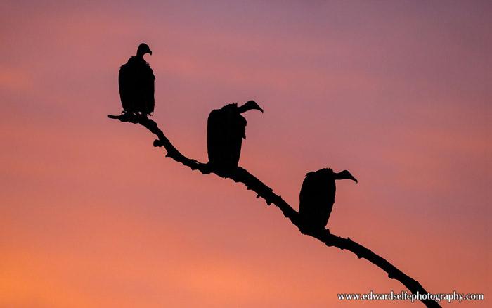 vultures-Luangwa