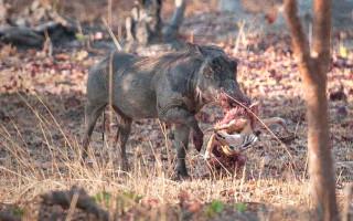 warthog-carries-impala-carcass