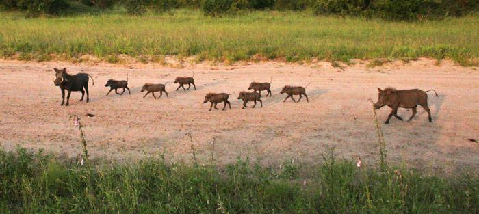 A warthog family © Janine Avery