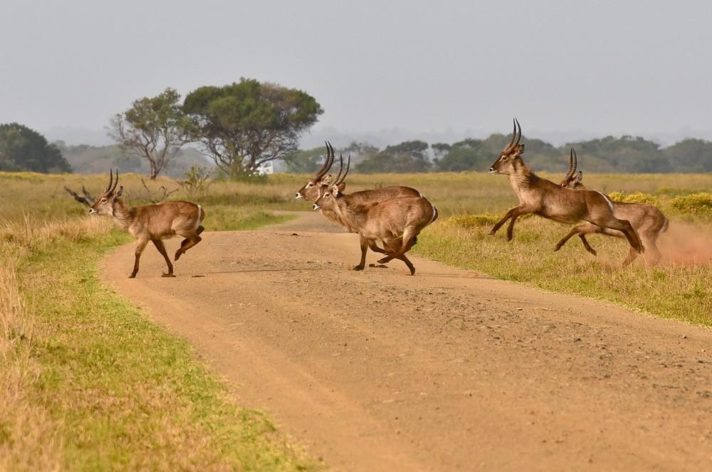 Waterbuck roadblock ahead! ©Peter Kirk