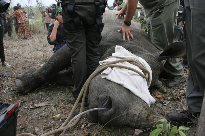 The white rhino cow that was darted for the purpose of relocation.