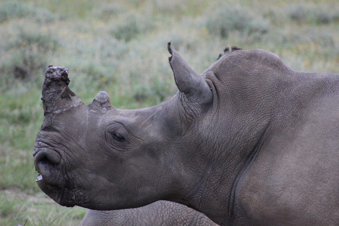 white-rhino-profile
