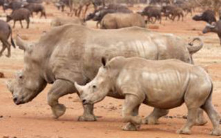 white-rhinos-missing-in-north-west