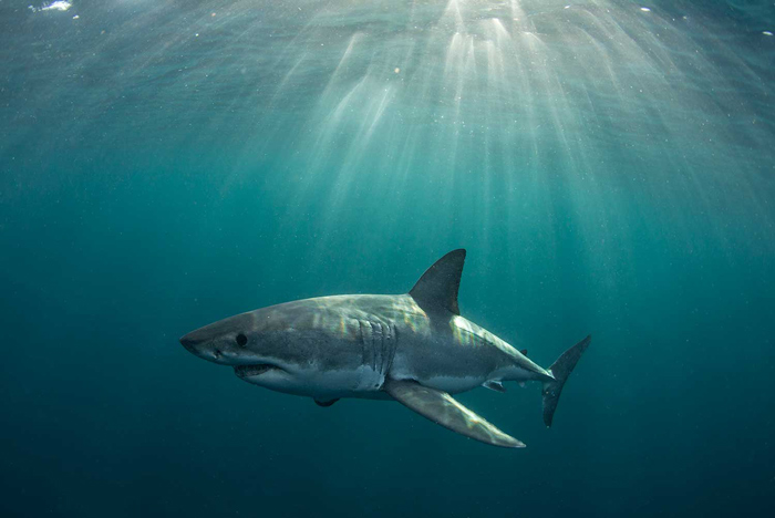 © Chris Fallows / Apex Shark Expeditions