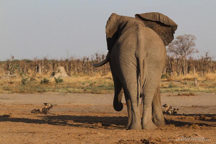 Wild dogs vs. elephants - Africa Geographic Lion Vs Elephant