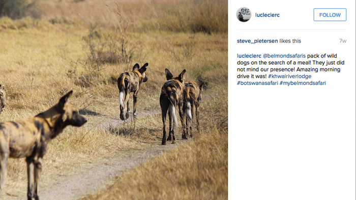 Pack of wild dogs on the search of a meal! They just did not mind our presence! Amazing morning drive it was! © @lucleclerk