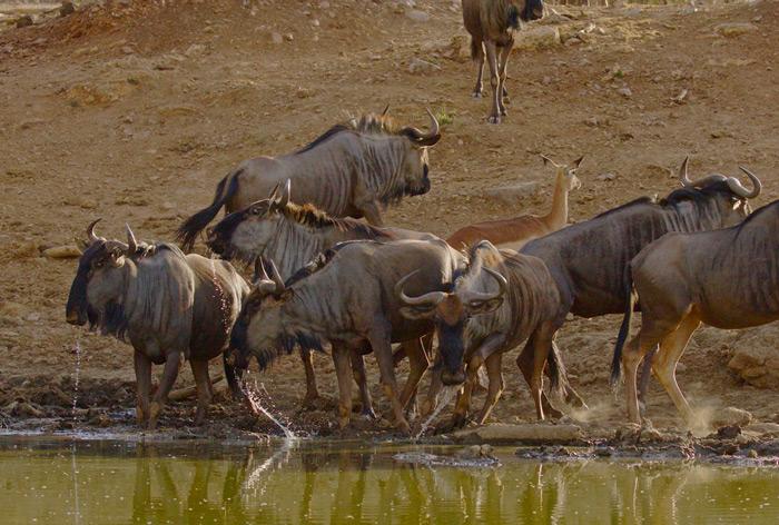 wildebeest-madikwe