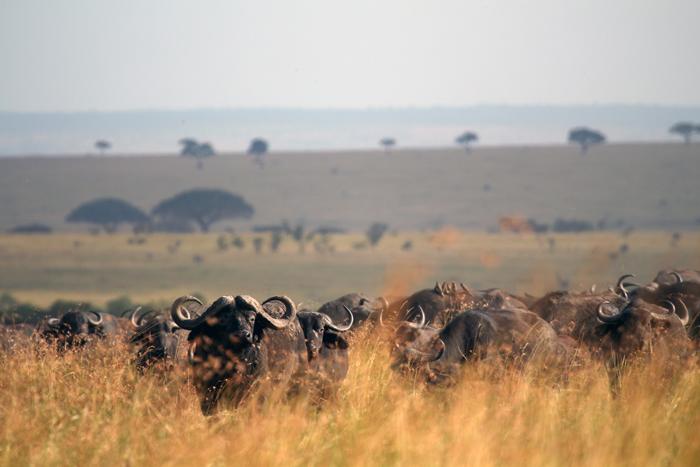 zambia-buffalo