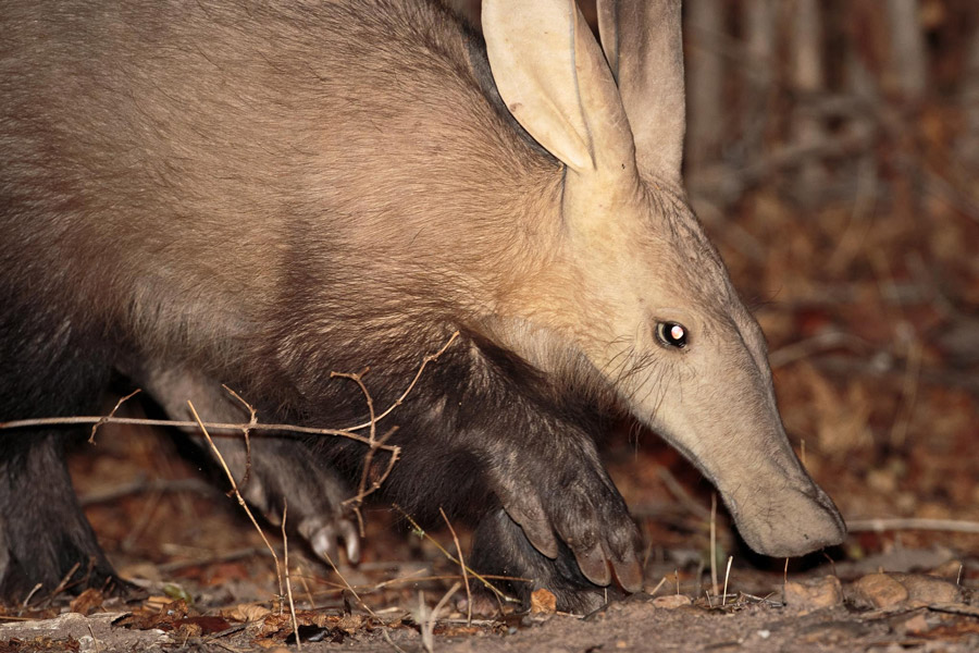 Aardvark-South-Luangwa