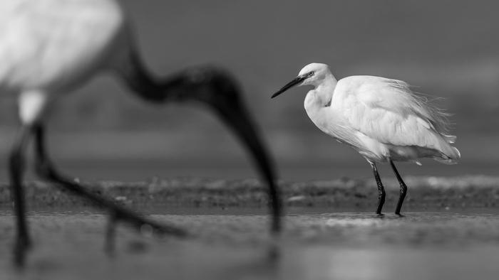 A little egret in focus with a sacred ibis in the foreground in KwaZulu Natal, South Africa © Anna-Mart Kruger