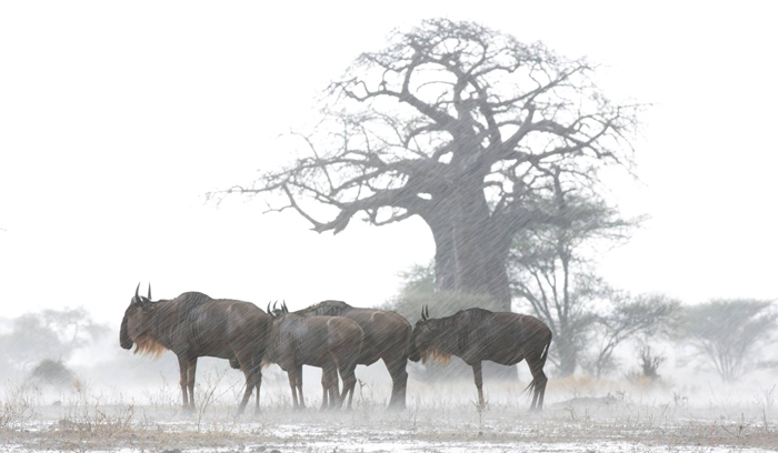 Wildebeest in the rain in Tanzania © Chloe McCormack