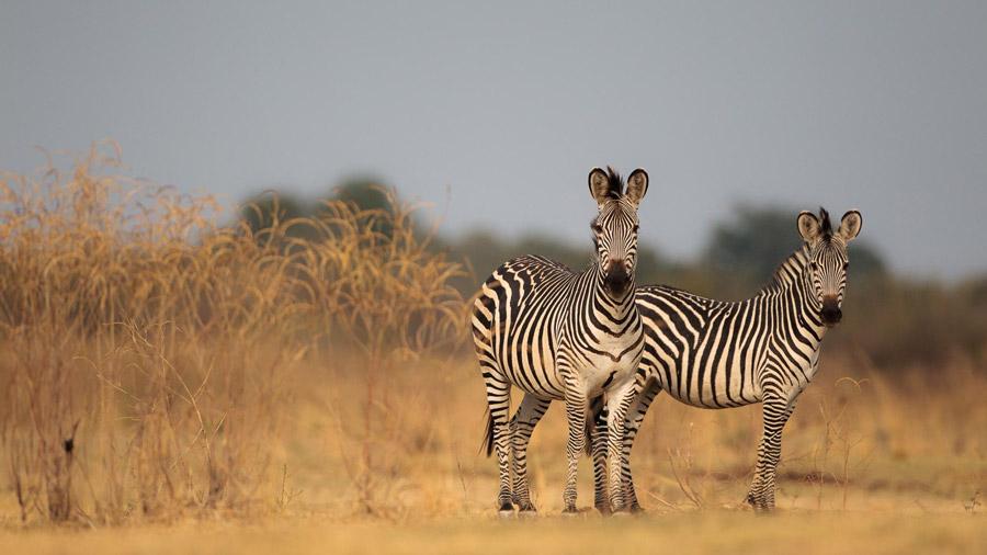 Crawshays-zebra-south-luangwa