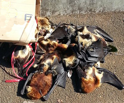 Mauritius flying foxes killed as a part of the government endorsed cull. © Zahirah Abdooraman