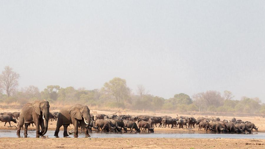 Elephants-and-buffalos-drinking