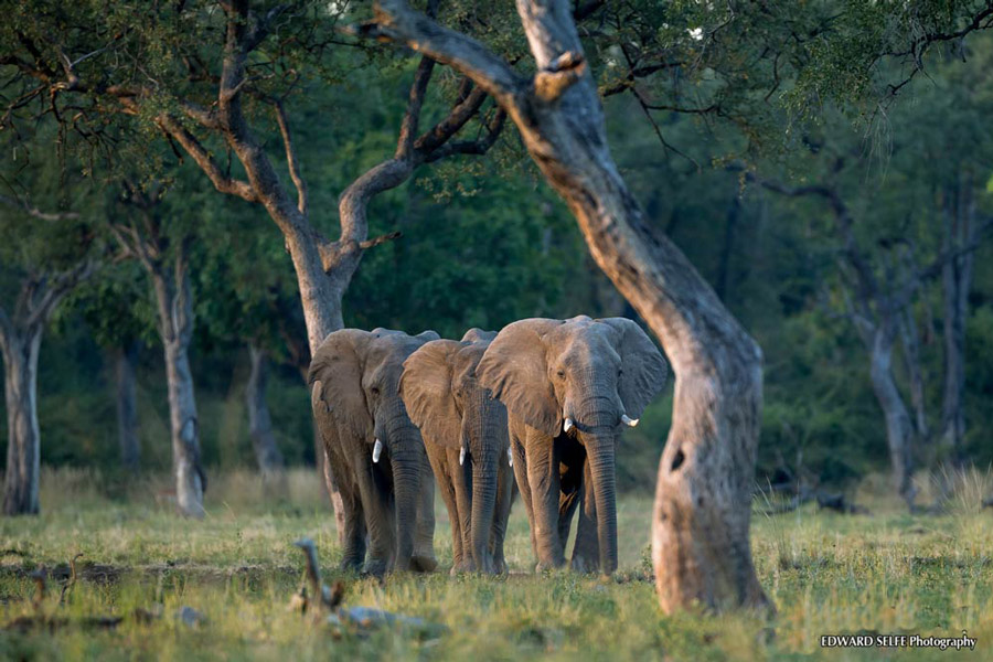 Elephants-marching-web